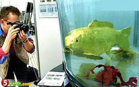 سمكة وكانها خلقت من الذهب F21
