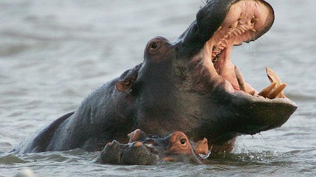 Mueren más de 80 hipopótamos por ántrax en Zimbabue Hipopotamos--644x362