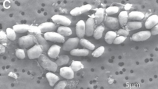El secreto de la increíble bacteria de la NASA  Bacteria--644x362