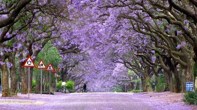 Un recorrido por nuestro planeta: asombrosas imagenes. - Página 3 Jacaranda-trees-in-bloom-south-africa--644x362