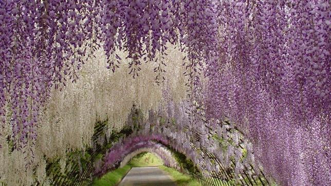 Un recorrido por nuestro planeta: asombrosas imagenes. - Página 3 Wisteria-tunel-japan--644x362