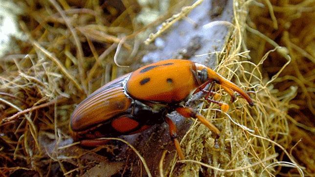 La FAO aconseja comer insectos para combatir el hambre en el mundo Picudo_rojo_arriba--644x362