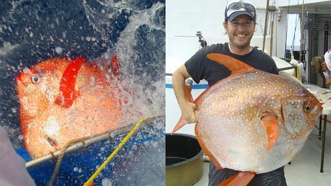 Descubierto el primer pez de sangre caliente Pez-sangre-caliente--644x362