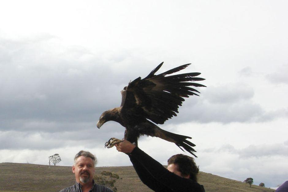 Comparação do tamanho de águias  com relação ao homem. 483034-3x2-940x627