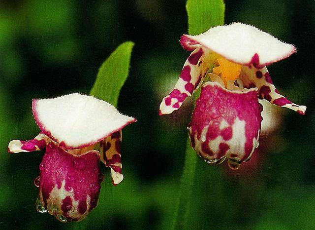 Hoa gieo tứ tuyệt 3 - Page 10 Alaskanum