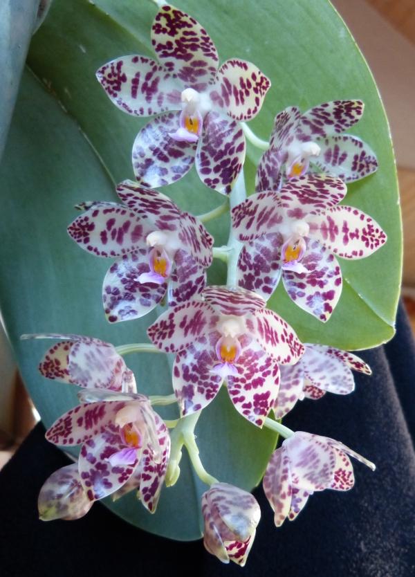 Phalaenopsis gigantea - Seite 3 002jbk4l