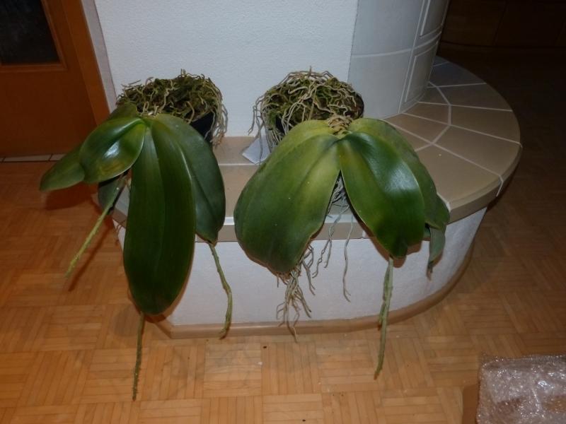 Phalaenopsis gigantea - Seite 2 0034mpay