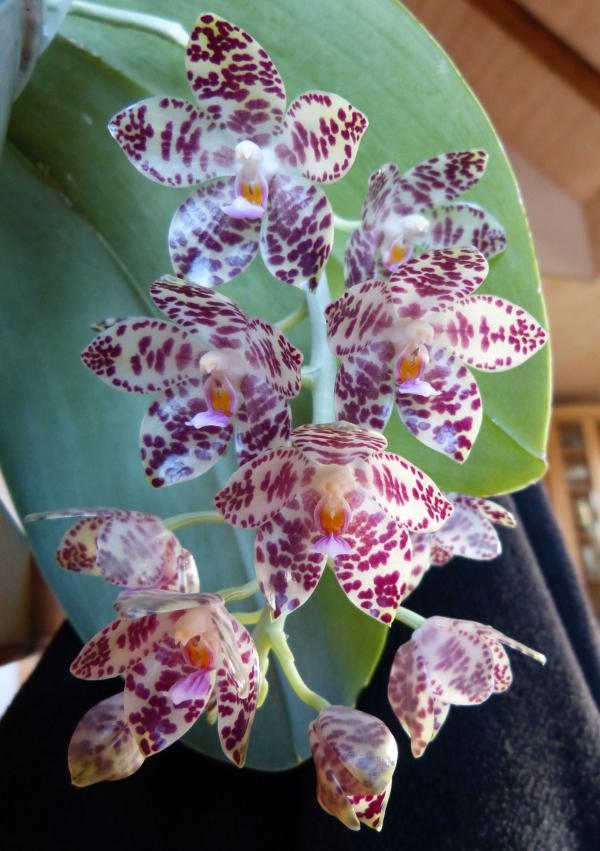 Phalaenopsis gigantea - Seite 3 003gcj5f