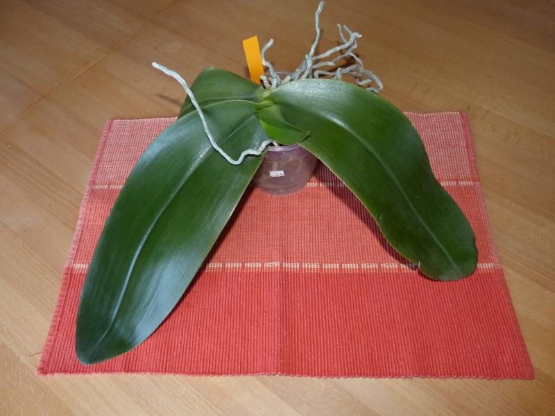 Phalaenopsis gigantea - Seite 4 00487rbq