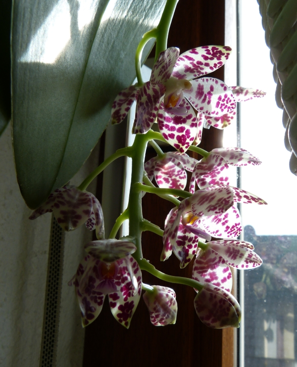 Phalaenopsis gigantea - Seite 3 004bskmp