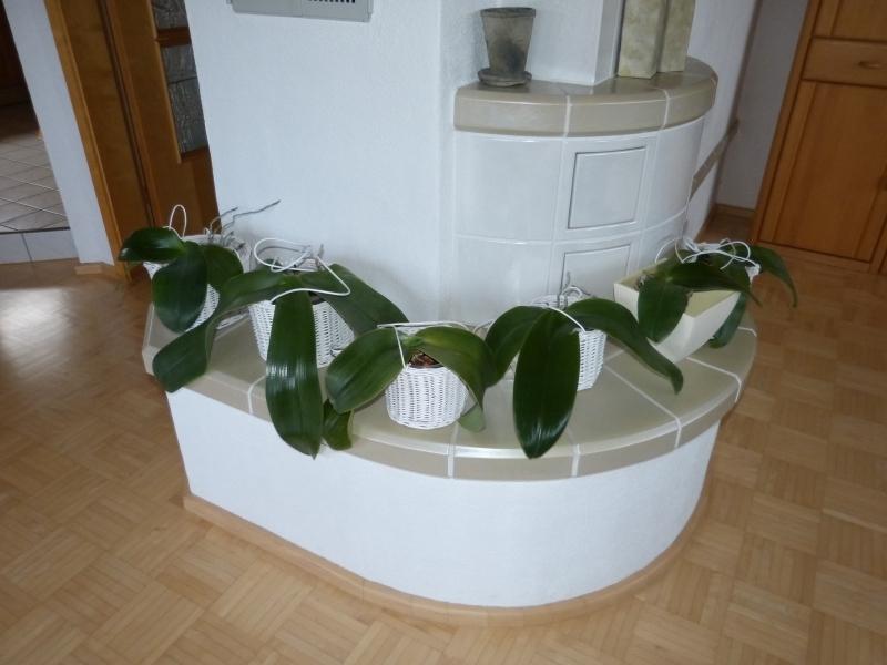 Phalaenopsis gigantea - Seite 2 004u0c4u