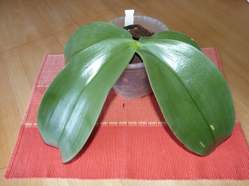 Phalaenopsis gigantea - Seite 4 005rhryi