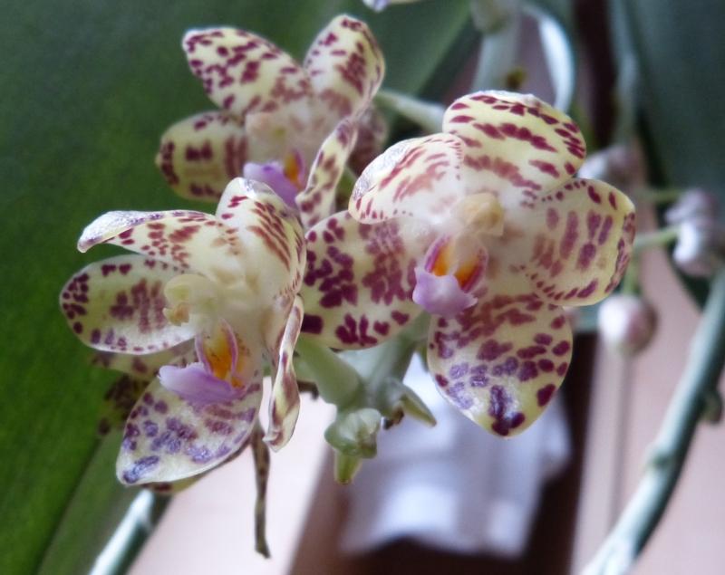 Phalaenopsis gigantea - Seite 3 0063akil