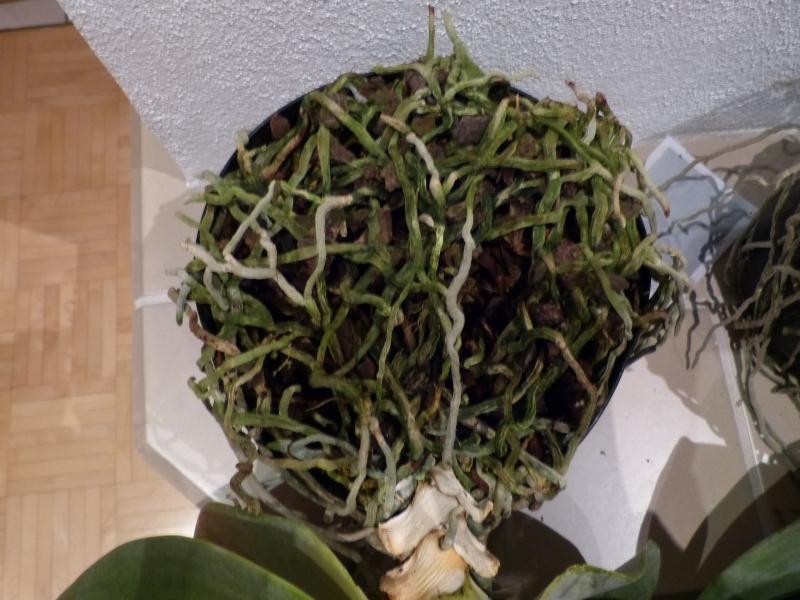 Phalaenopsis gigantea - Seite 2 006akp1t
