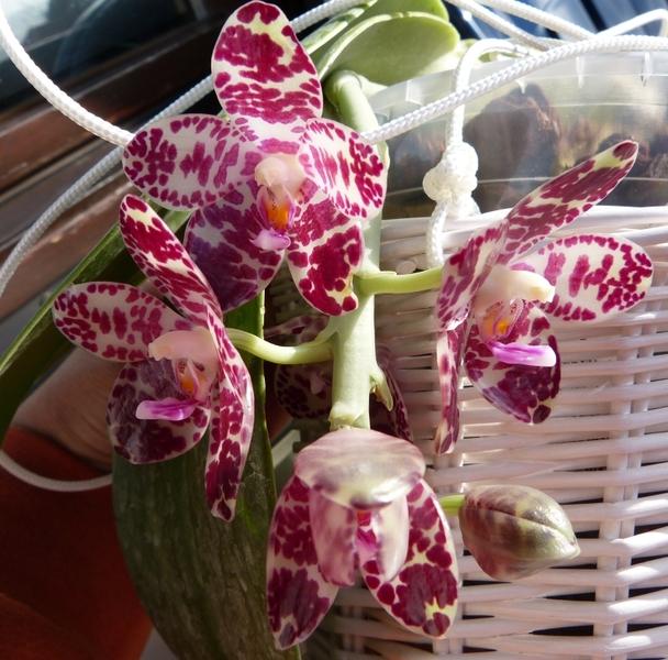 Phalaenopsis gigantea - Seite 2 006ccrkd