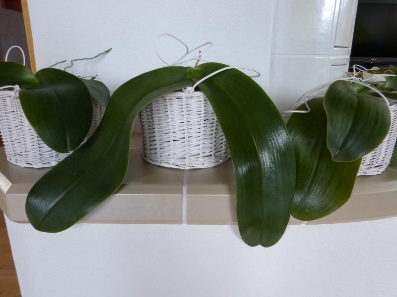 Phalaenopsis gigantea - Seite 2 006p4e69