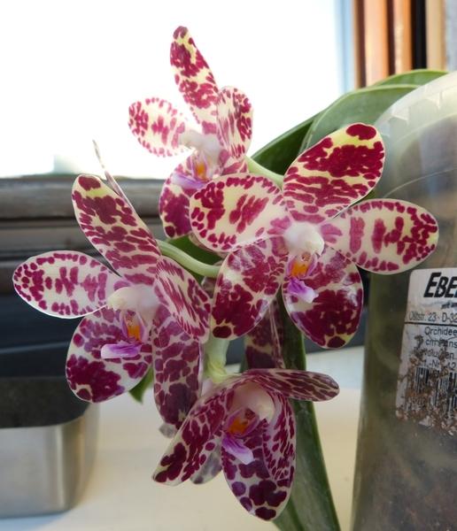 Phalaenopsis gigantea - Seite 2 007vybwv