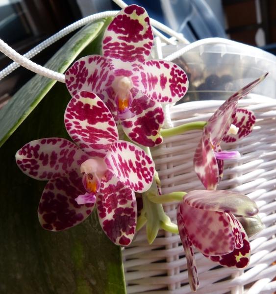 Phalaenopsis gigantea - Seite 2 007x3rt0