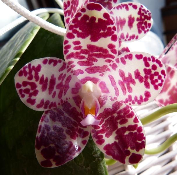 Phalaenopsis gigantea - Seite 2 00814qxy