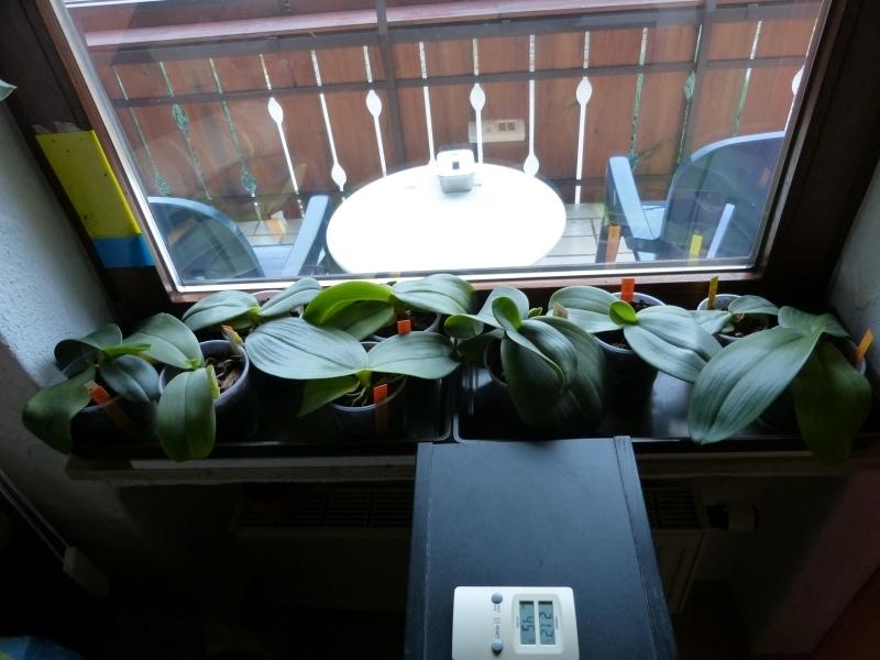Phalaenopsis gigantea - Seite 2 008jzsrp