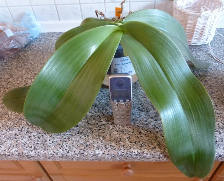 Phalaenopsis gigantea - Seite 2 0096lrn0