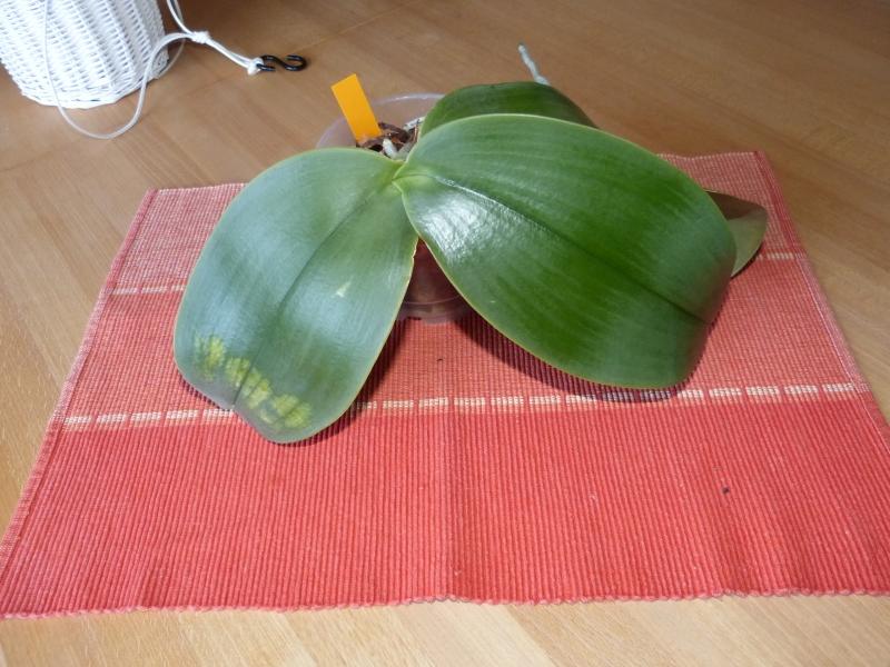 Phalaenopsis gigantea - Seite 4 009bnpw9