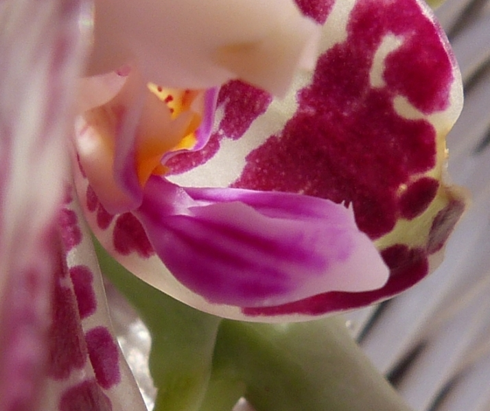 Phalaenopsis gigantea - Seite 2 010mzovq