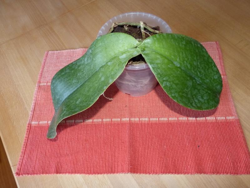 Phalaenopsis gigantea - Seite 4 011blpje