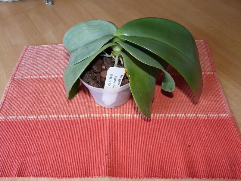 Phalaenopsis gigantea - Seite 4 012aurdw