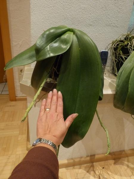 Phalaenopsis gigantea - Seite 2 012wor5e