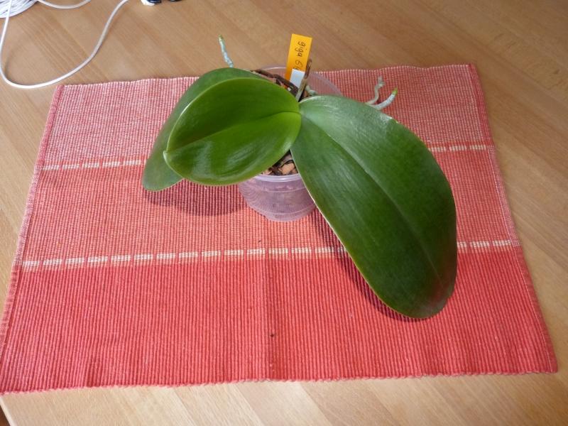 Phalaenopsis gigantea - Seite 4 016wuqed