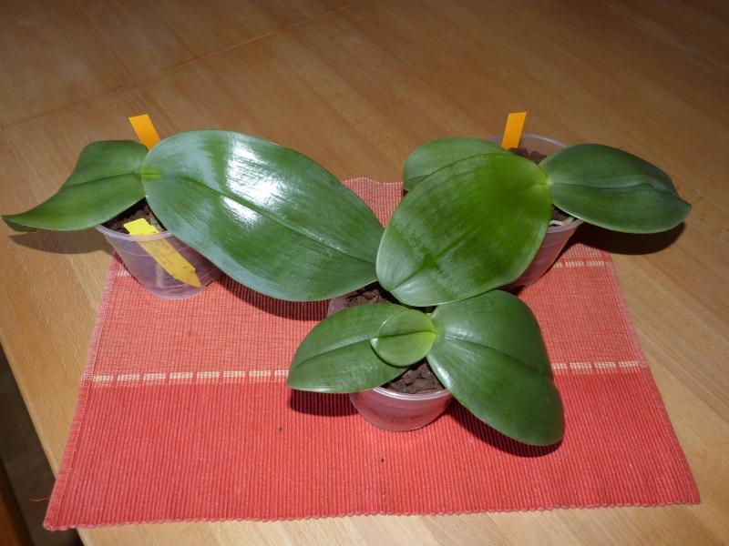 Phalaenopsis gigantea - Seite 4 019xfqln