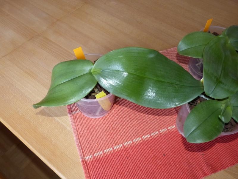 Phalaenopsis gigantea - Seite 4 021m5pme