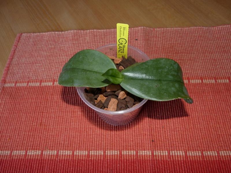 Phalaenopsis gigantea - Seite 4 02329p0i
