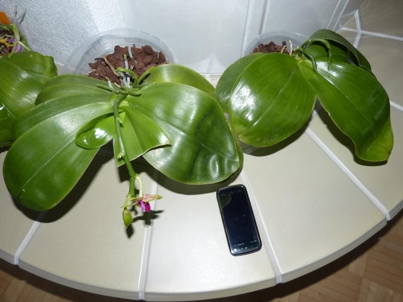 Phalaenopsis bellina 0280gs7u