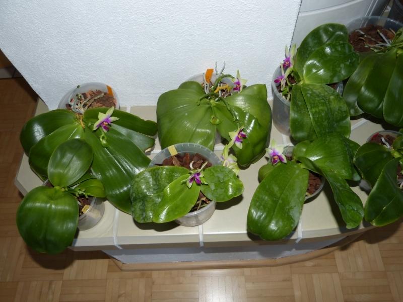 Phalaenopsis bellina 029k7s9b