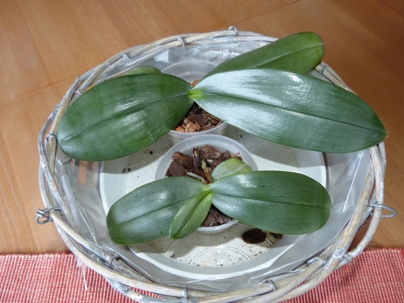 Phalaenopsis gigantea - Seite 4 0301zqmn