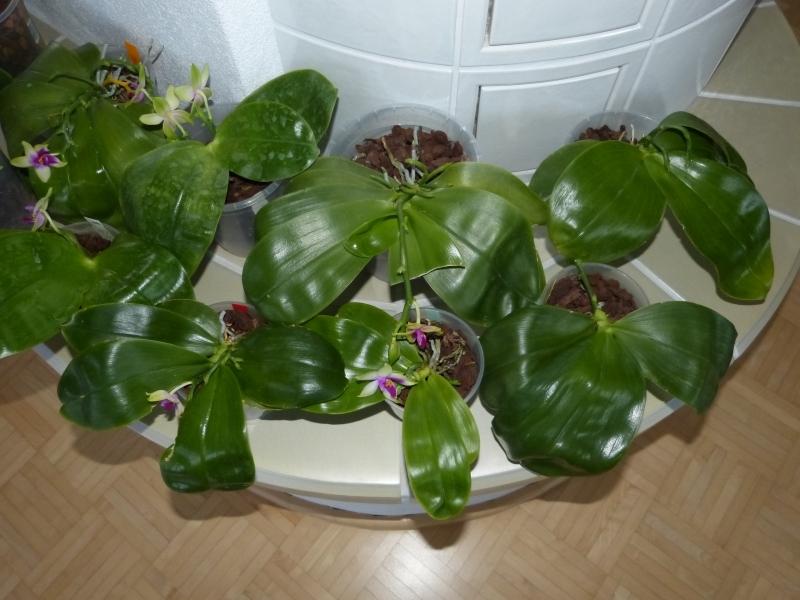 Phalaenopsis bellina 030s1sqa