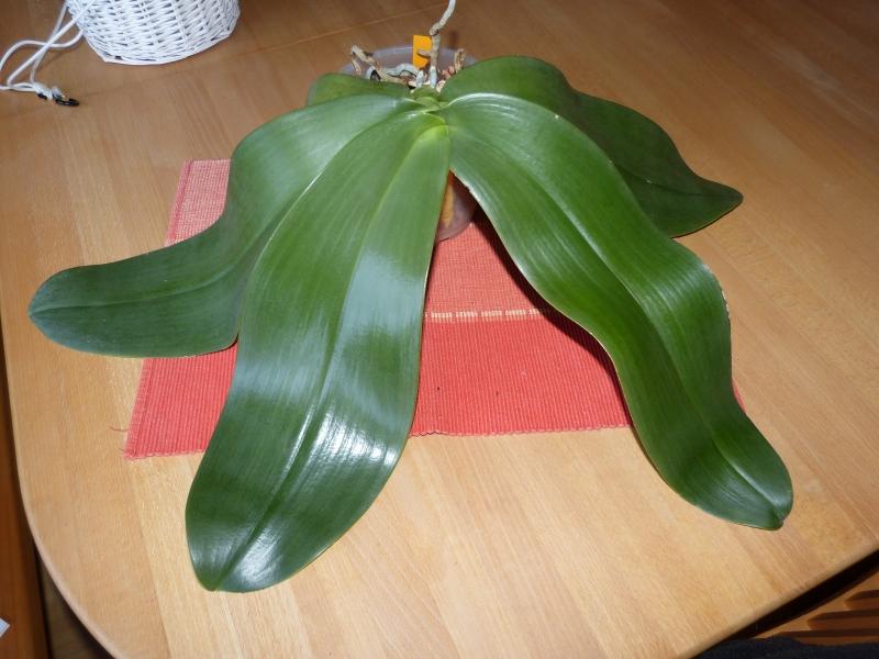Phalaenopsis gigantea - Seite 4 031y8soy