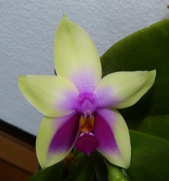 Phalaenopsis bellina 032n6s70