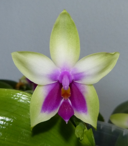 Phalaenopsis bellina 0358ssvx