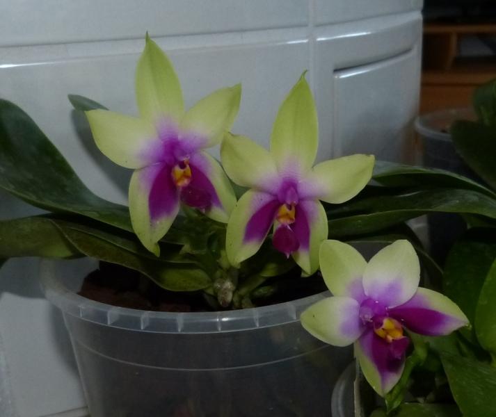 Phalaenopsis bellina 038rcppf