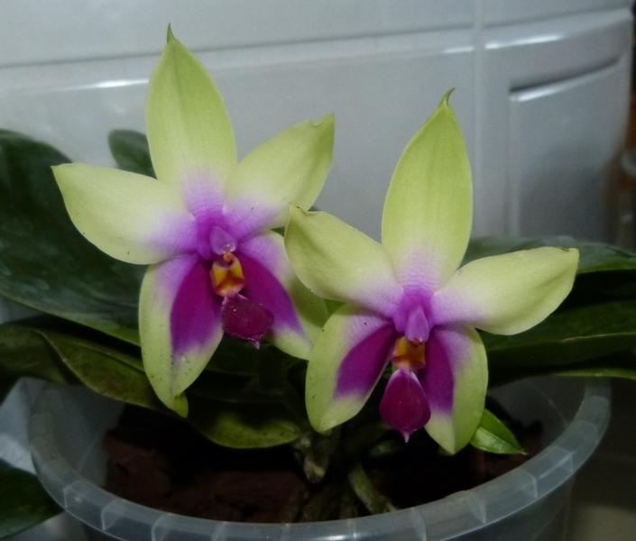 Phalaenopsis bellina 039sqqzo