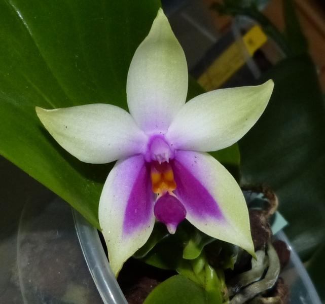 Phalaenopsis bellina 041aqptc