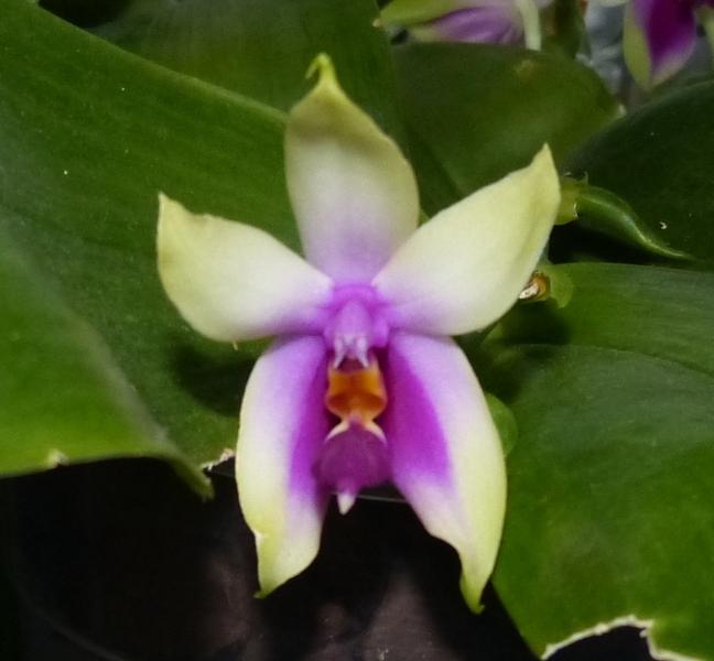 Phalaenopsis bellina 042rfq10