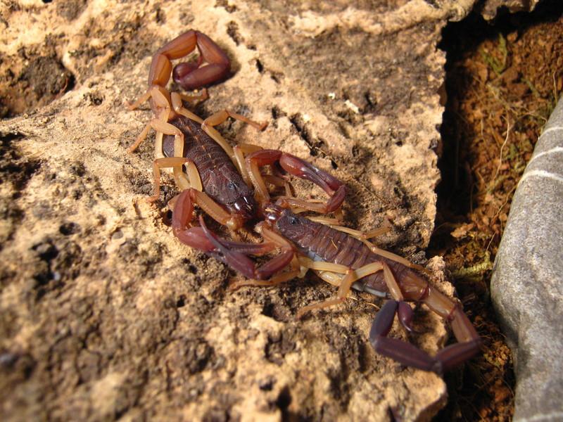 Johnny's scorpion breeding 1.verpaarungmitgary259fn4