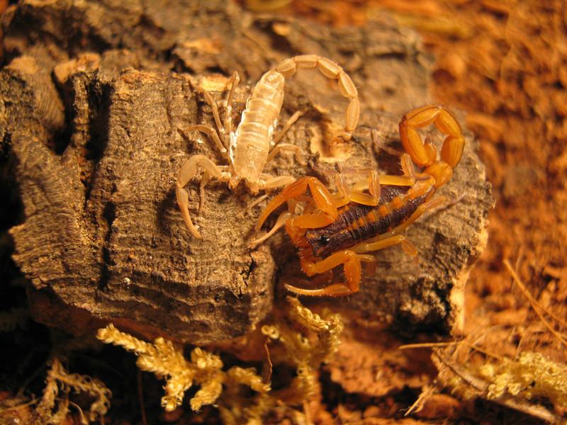 Johnny's scorpion breeding 4.instar-frisch3y7aun