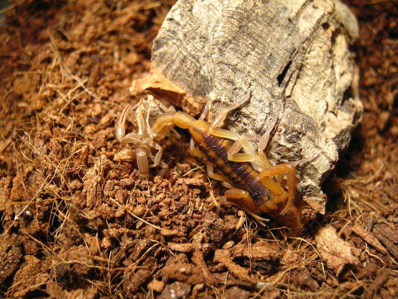 Johnny's scorpion breeding 5.instar207kbo3