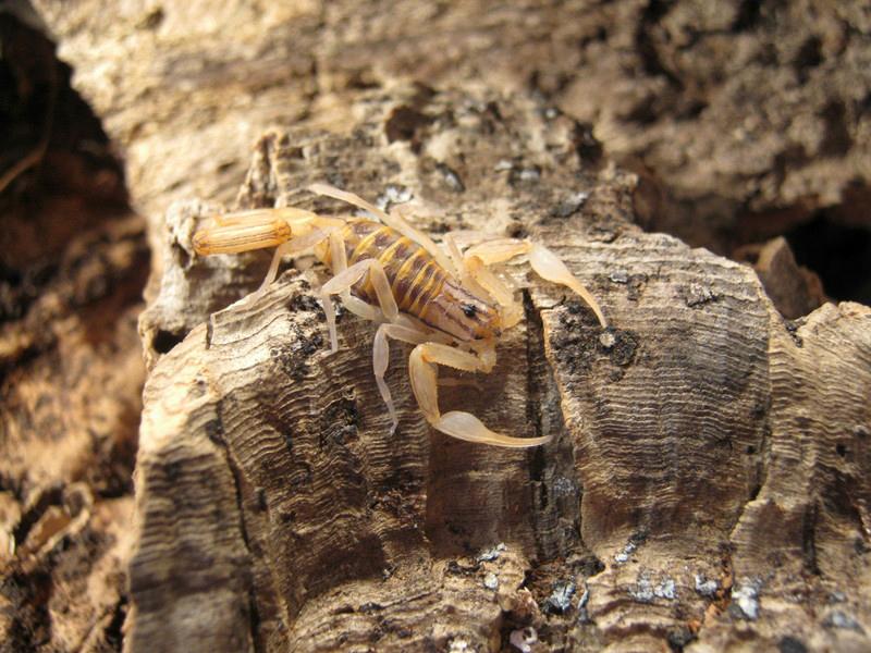 Johnny's scorpion breeding 6.instar6tmcsg