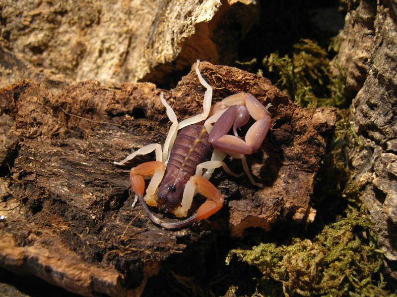 Johnny's scorpion breeding Adult41762l